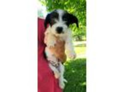 Adopt Jack a Black - with White Terrier (Unknown Type, Small) / Mixed dog in