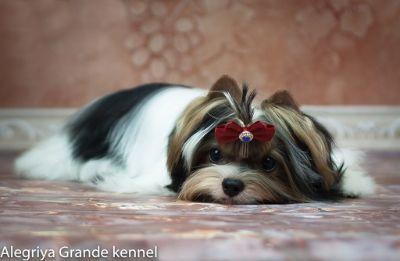 Biewer Terrier PUPPY FOR SALE ADN-108213 - ALEGRIYA GRANDE REPUBLIC A PLAYFUL