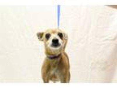 Adopt a Tan/Yellow/Fawn - with White Rat Terrier / Mixed dog in Modesto