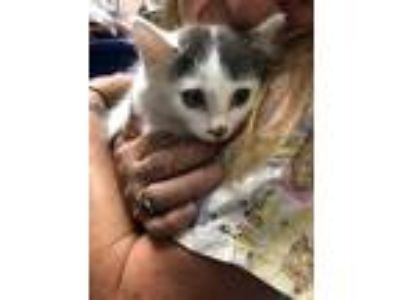 Adopt Purrmonica a White Domestic Longhair / Domestic Shorthair / Mixed cat in