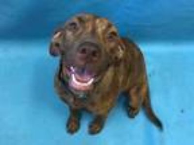 Adopt Confetti a Brindle Retriever (Unknown Type) / Mixed dog in Golden Valley