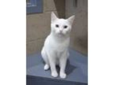 Adopt Sanibel a Domestic Short Hair