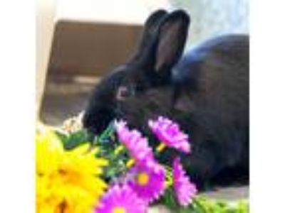 Adopt Lady Penelope a Rex / Mixed rabbit in Golden, CO (25371534)