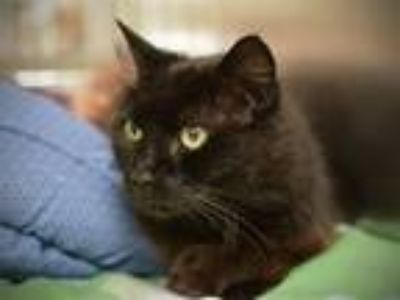 Adopt Catsy Cline a Domestic Mediumhair / Mixed cat in Portland, OR (25867607)