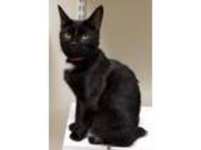 Adopt Tulip a Domestic Short Hair
