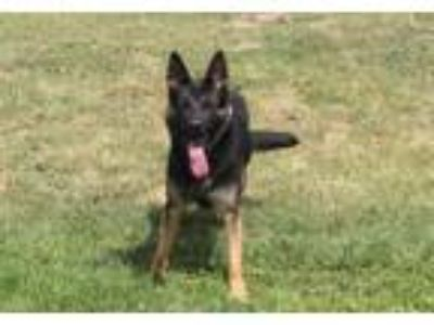 Adopt A520006 a German Shepherd Dog