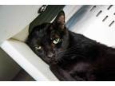 Adopt BEAR a All Black Domestic Shorthair / Mixed (short coat) cat in Orlando