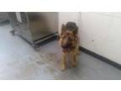 Adopt Ven a German Shepherd Dog