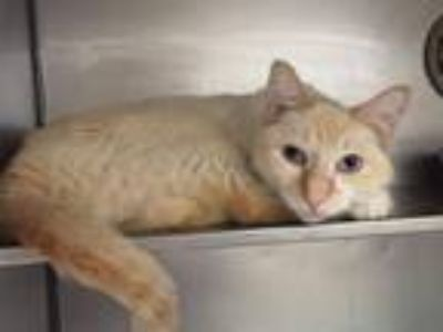 Adopt TOMMIE a Siamese