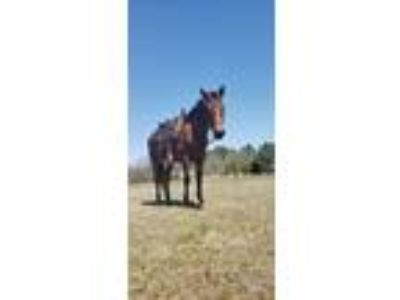 1997 AQHA registered bay gelding Fiddlers Storm