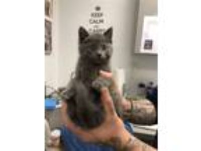 Adopt Ramm a Domestic Shorthair / Mixed cat in Madison, NJ (25583618)