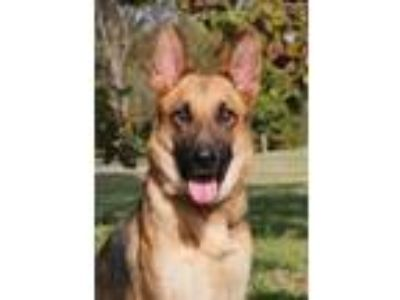 Adopt Lina a Black - with Tan, Yellow or Fawn German Shepherd Dog / Mixed dog in