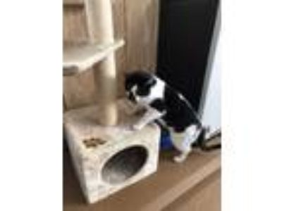 Adopt Collins a Black & White or Tuxedo Domestic Shorthair (short coat) cat in