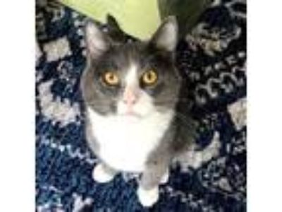 Adopt Boo-Boo a Gray or Blue Domestic Shorthair cat in Northbrook, IL (25943568)