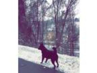 Adopt Gunnarr a Black Australian Kelpie / Shepherd (Unknown Type) dog in