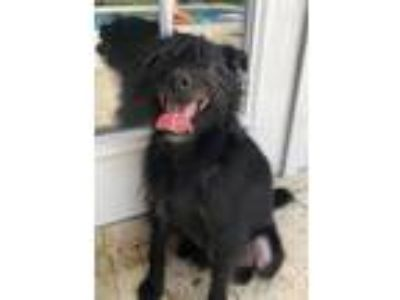 Adopt Chop Chop a Standard Schnauzer / Poodle (Miniature) / Mixed dog in West
