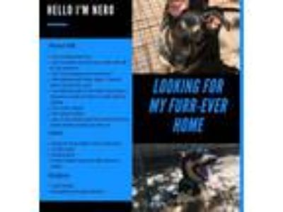Adopt Nero a German Shepherd Dog, Doberman Pinscher