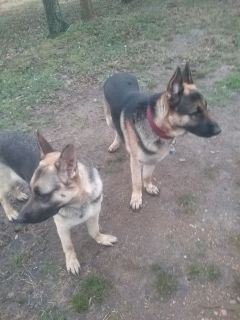 1 female,  1 male  GERMAN SHEPHERDs