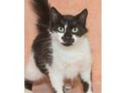 Adopt Sara a Black & White or Tuxedo Domestic Mediumhair (medium coat) cat in