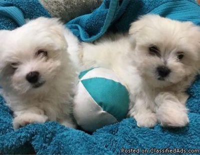 Maltese puppies Foe Good Homes