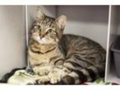 Adopt Valerie a Domestic Shorthair / Mixed cat in Napa, CA (25239153)