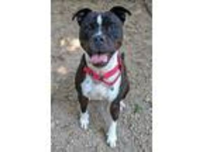 Adopt Princess Oink a American Pit Bull Terrier / Mixed dog in Charlottesville