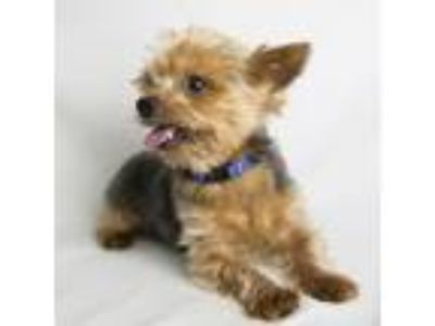 Adopt Teddy a Yorkshire Terrier
