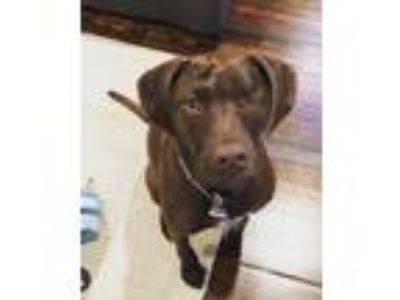 Adopt Socket Oden a Labrador Retriever