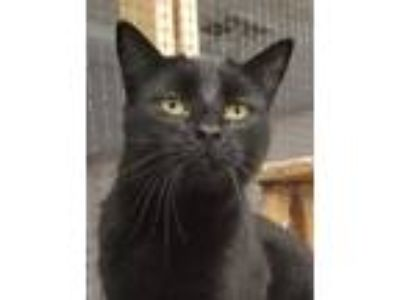 Adopt Blaine a Black (Mostly) Domestic Shorthair (short coat) cat in Colfax