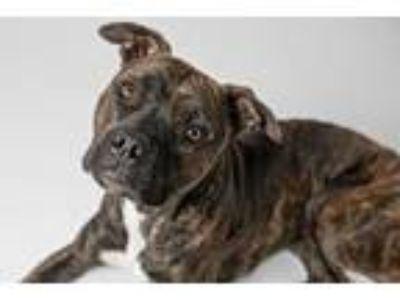 Adopt Rosie a Staffordshire Bull Terrier