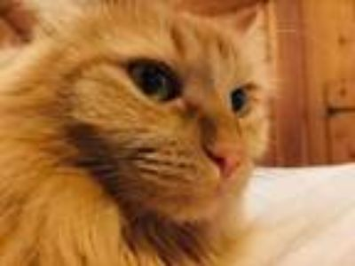 Adopt Ginger **Courtesy Listing** a Orange or Red Domestic Longhair / Mixed