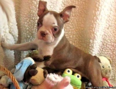 Politely Boston Terrier Puppies for sale