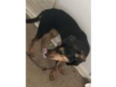 Adopt Minnie a Black Rottweiler / Shepherd (Unknown Type) dog in Birmingham