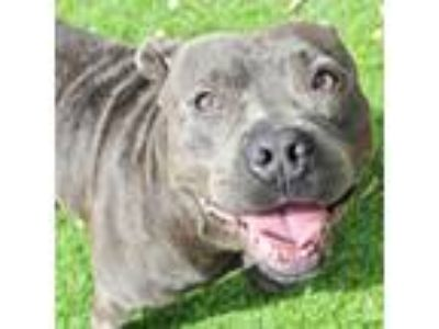 Adopt Fonzie a Gray/Blue/Silver/Salt & Pepper American Pit Bull Terrier / Mixed