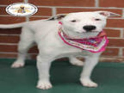 Adopt a White - with Tan, Yellow or Fawn Labrador Retriever / Jack Russell