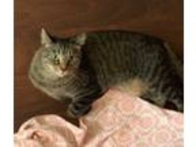 Adopt Silly Lilly a Brown Tabby Domestic Shorthair (short coat) cat in Sherman