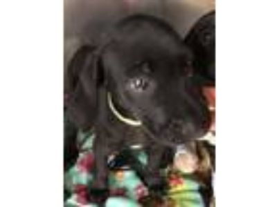 Adopt Kevin a Pointer, Labrador Retriever