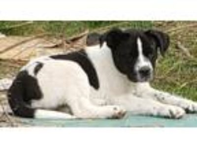 Adopt Loni a Border Collie, Saint Bernard