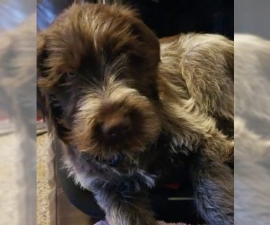 Wirehaired Pointing Griffon PUPPY FOR SALE ADN-122089 - 5 month old Male Wiredhair Pointing Griffon