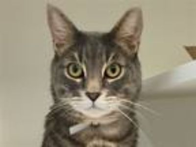 Adopt Stripes a Domestic Shorthair / Mixed (short coat) cat in New York