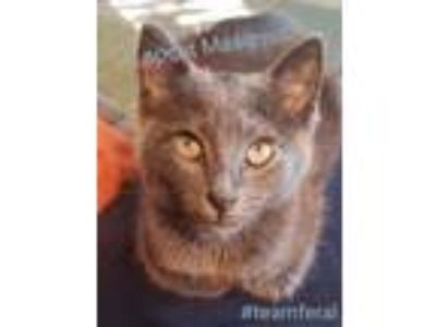 Adopt Maximus a Russian Blue
