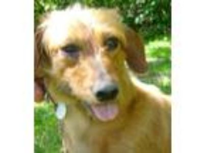 Adopt Sadie a Brown/Chocolate Dachshund / Mixed dog in Issaquah, WA (25651491)