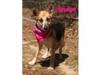 Adopt Amaya a German Shepherd Dog