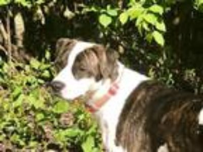 Adopt Helen a Brindle - with White Boxer / Pointer / Mixed dog in Wheaton