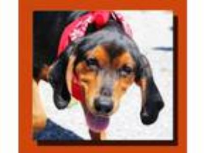Adopt Sarge Misfit *MEET ME AT AA!* a Black - with Tan, Yellow or Fawn Hound