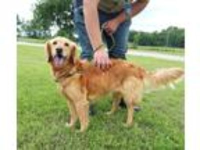 Adopt Bella a Red/Golden/Orange/Chestnut Golden Retriever / Mixed dog in