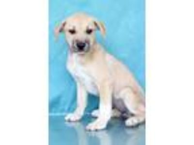Adopt Liza a Tan/Yellow/Fawn - with White Shepherd (Unknown Type) / Mixed dog in