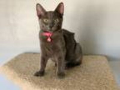 Adopt Amelia a Russian Blue, Domestic Medium Hair
