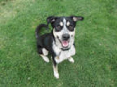 Adopt MAX a Tricolor (Tan/Brown & Black & White) Border Collie / Mixed dog in