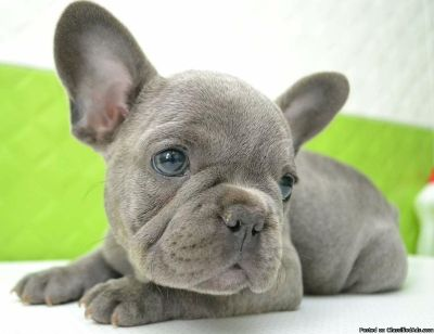 LDOAD M\F AKC French Bulldog Puppies